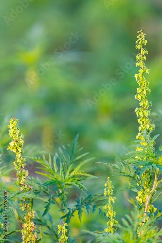American common ragweed or Ambrosia artemisiifolia causing allergy Wallpaper Mural