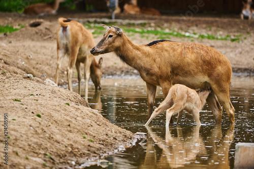 Poster Kangoeroe Pere David deers calf feeding time doe in water