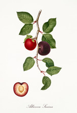 Red Apricot, Known Also As Plum Apricot, Apricot Tree Leaves And Fruit Section With Kernel Isolated On White Background. Old Botanical Illustration By Giorgio Gallesio Publ. 1817, 1839 Pisa Italy