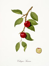 Cherry, Also Known As Cherry P...