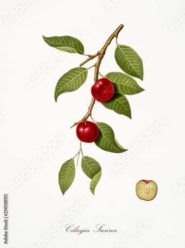 cherry, also known as cherry plum, cherry tree leaves and fruit section with kernel isolated on white background Canvas-taulu