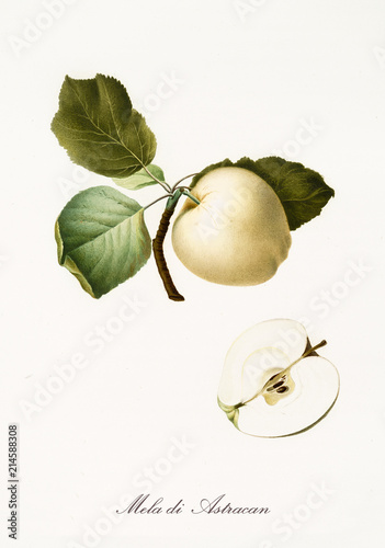 Apple, also known as astrakhan apple, apple tree leaves and fruit section with kernel isolated on white background Canvas Print