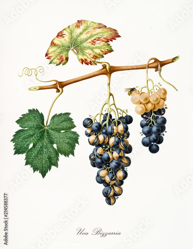 Isolated strange kind of grapes, called Bizzarria grapes, and vine leaf on white background Canvas-taulu