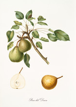 Pear, Called Pear Of The Duke, On A Single Branch With Leaves And Isolated Single Pear Section On White Background. Old Botanical Illustration Realized By Giorgio Gallesio On 1817,1839
