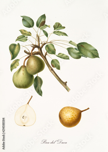Pear, called pear of the duke, on a single branch with leaves and isolated single pear section on white background Fototapete