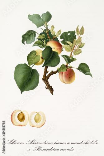 Apricots, called alexandrian apricots, on their single branch with leaves and isolated single fruit section on white background Wallpaper Mural