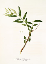 Single Jujube Branch With Leaves And Flowers. All The Graphic Composition Is Isolated Over White Background. Old Detailed Botanical Illustration By Giorgio Gallesio Published In 1817, 1839