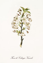 Single Cherry Blossom Branch With White Flowers. All The Graphic Composition Is Isolated Over White Background. Old Detailed Botanical Illustration By Giorgio Gallesio Published In 1817, 1839