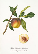 Single Peach On Branch With Leaves And Section Of The Fruit. All The Elements Are Isolated Over White Background. Old Detailed Botanical Illustration By Giorgio Gallesio Published In 1817, 1839