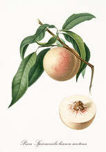 Single Peach Hanging From Its Branch With Leaves And Section Of The Fruit. Elements Are Isolated Over White Background. Old Detailed Botanical Illustration By Giorgio Gallesio Published In 1817, 1839