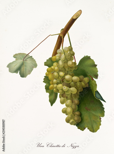 White grape on little part of vine branch with leaves. All the elements are isolated over white background. Old detailed botanical illustration by Giorgio Gallesio published in 1817, 1839 Fototapete