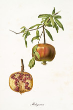 Orange Pomegranate Hanging From Its Branch And Interior Section Of The Fruit. Isolated Elements Over White Background. Old Detailed Botanical Illustration By Giorgio Gallesio Published In 1817, 1839