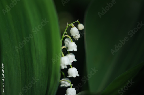 Poster Muguet de mai white lily of the valley flower, peeps out of the shade, because of the green leaves