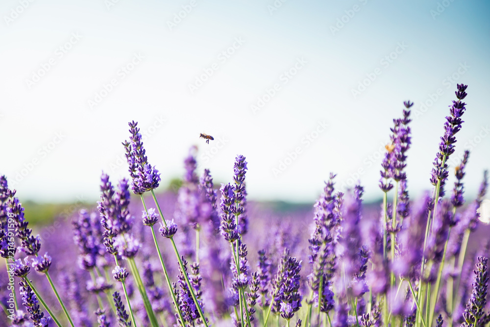 Fototapety, obrazy: Beautiful landscape of lavender fields at sunset with dramatic sky.