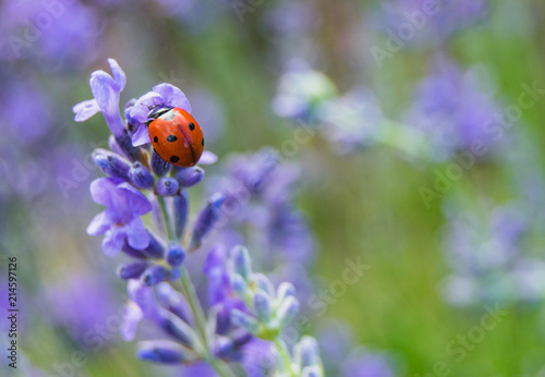 Lady bug on lavender flowers