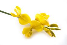 Spartium Junceum Flowers