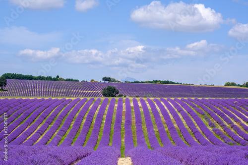 Tuinposter Lavendel Champ de lavande sur le plateau d'Albion, Sault, Provence, France.