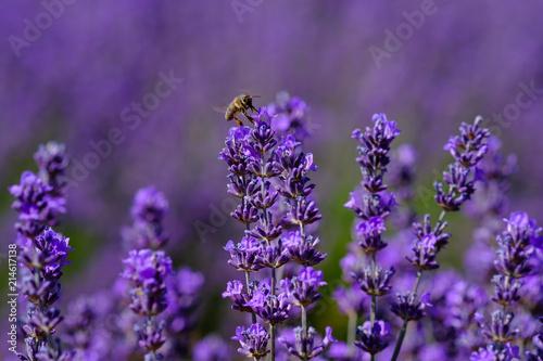 Tuinposter Lavendel Fleurs de lavande macro, une abeille sur les fleurs.