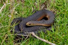 Tiger Snake, Australia