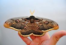 Night Peacock Eye Butterfly. C...