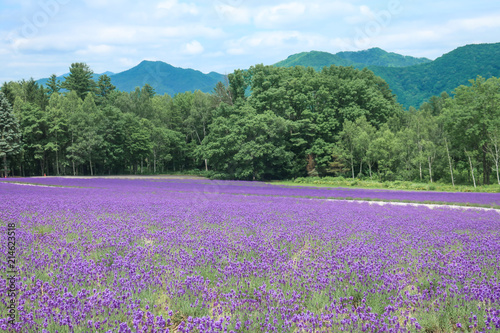 In de dag Lavendel ラベンダー ラベンダー畑