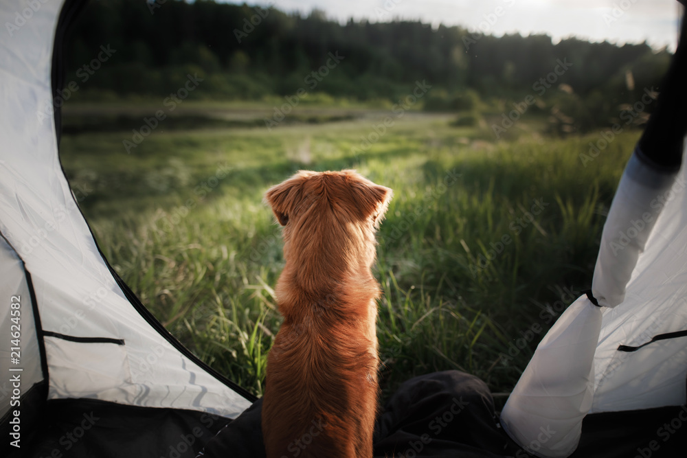 dog in a tent on nature. Summer vacation. Nova Scotia Duck Tolling Retriever