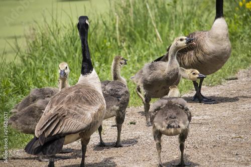 Valokuva Gaggle of Geese
