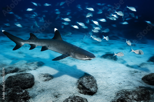 Whitetip reef shark underwater near Mosquera island in the Galapagos Islands Canvas Print