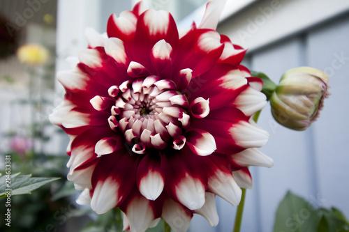 In de dag Dahlia Bicolor red and white dahlia in garden.