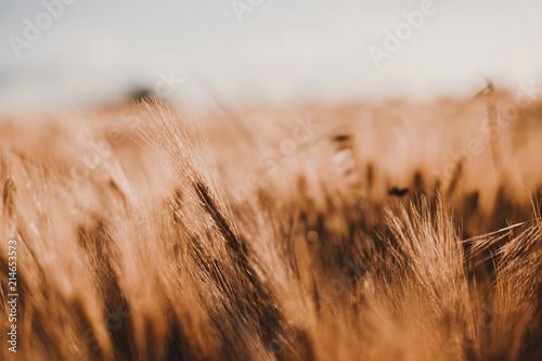 Láminas  Gold Wheat Field