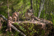 Grey Wolf (Canis Lupus) Family On Rock