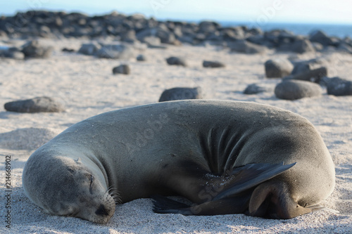 Sea Lion Naptime Poster