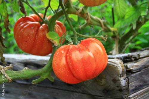 tomates coeur de boeuf,dans le potager en grosplan
