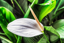 White Lily Arum Lily, Zantedes...