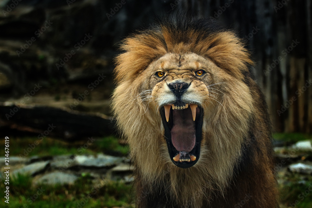 Fototapeta The Berber Lion with open mounth.