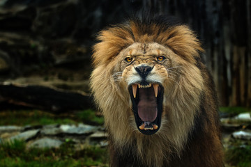 The Berber Lion with open mounth.