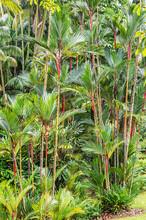 Hollow Stemmed Bamboo Growing In Singapore Botanic Gardens