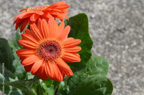 Foto op Plexiglas Gerbera Gerbera flower close up