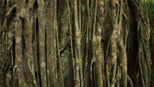 Close Up View Of Tropical Banyan Tree Trunk With Overgrown Roots And Branches Creating Beutiful Natural Wood Texture In Humid Climate Of Asian Tropics