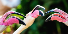 Three Open Talking Flamingo Beaks