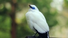 Close-up Of A Bali Myna Bird