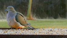 Fluffy Mourning Dove Eating Bi...