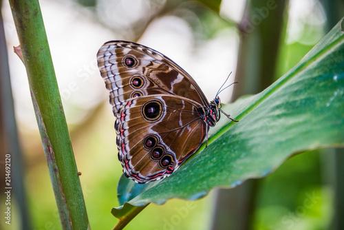 Fotografie, Obraz  Morpho peleides butterfly