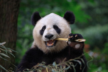 Panda Bear Eating Bamboo, Bife...