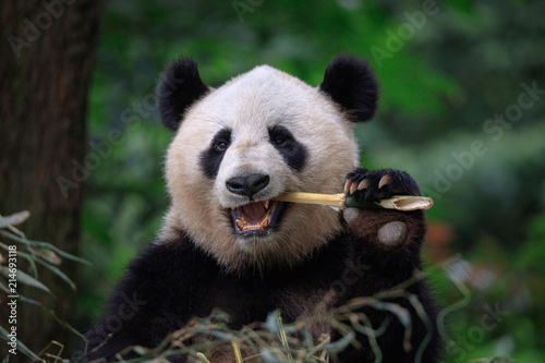 Poster Panda Panda Bear Eating Bamboo, Bifengxia Panda Reserve in Ya'an Sichuan Province, China. Panda looking at the viewer with mouth open, eating a large chunk of Bamboo. Endangered Species Animal Conservation