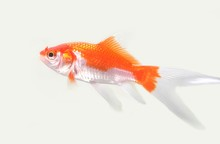 The Comet Or Comet-tailed Goldfish Is A Single-tailed Goldfish.