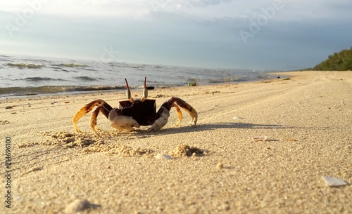 Horned ghost crab on the sand at beach