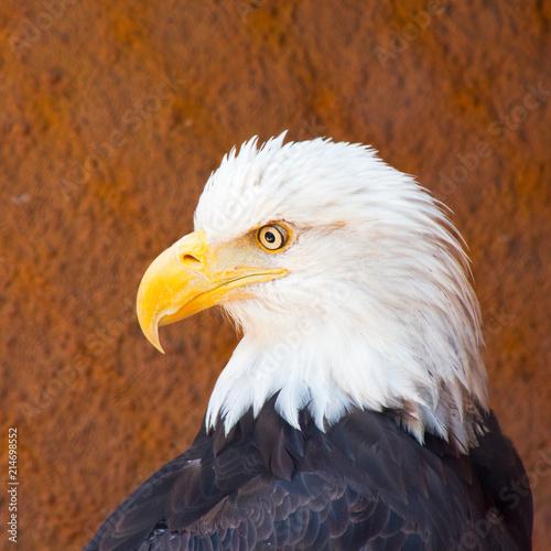 Poster Aigle Closeup of American Bald Eagle bird outdoor