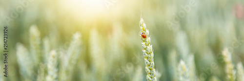 Beautiful summer background and texture, ladybug sits on a wheat spike in a field