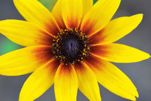 Rudbeckia Or Black-eyed-Susan Yellow Brown Flower Closeup Top View On Blurred Background.
